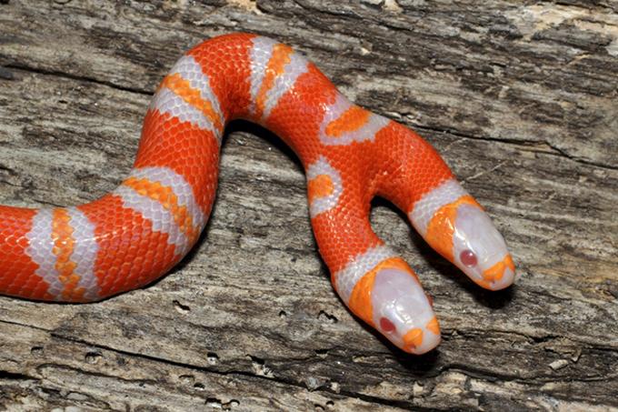 Чудо-змея с двумя головами